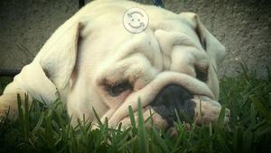 Bulldog Ingles Hembra 2.5 años