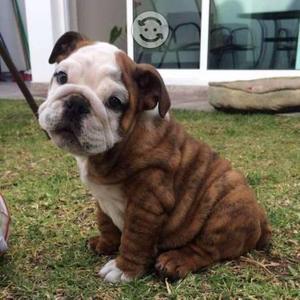 Cachorros bulldog inglés