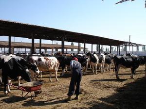 xxVitelas de leite, touro e novilhas grávidas à venda