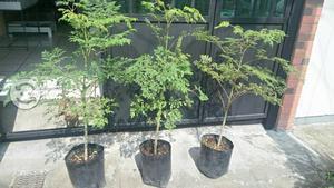 Combo 3 árboles de Moringa a domicilio