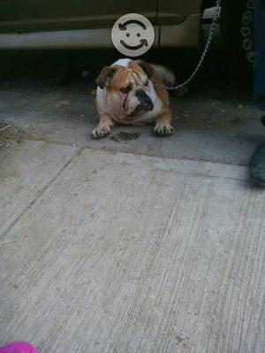 Bulldog ingles de 7 meses