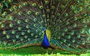 Pareja De Pavo Reales Azules
