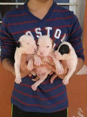 Cachorros Pitbull