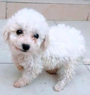 French Poodle Minitoy Morelia Posot Class