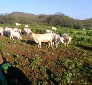 Ganado Charolais De Registro Y Sin Registro.rancho La Tijera
