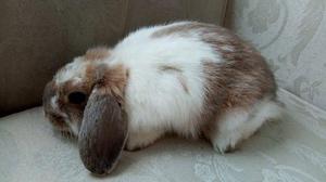 Hermoso Conejito Mini Lop Belier Ultimo Precioso