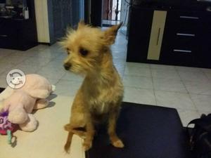 Busco: NOVIA para perro chihuahua,pelos de alambre