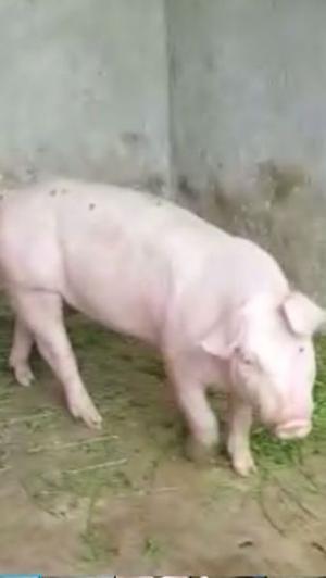 Cerdos y lechones