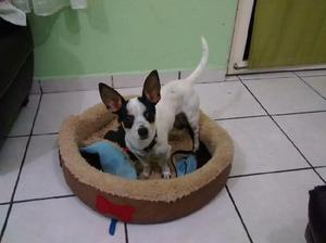 Chihuahua busca pareja