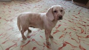 Hembra Beagle para adopcion