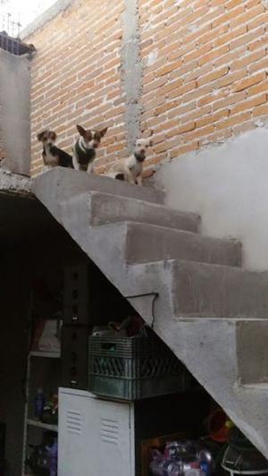 en adopción perros Chihuahua