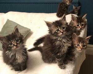 Adorable Maine Coon gatitos para la venta