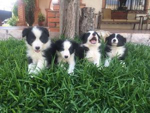 Border collie hermosos cachorros