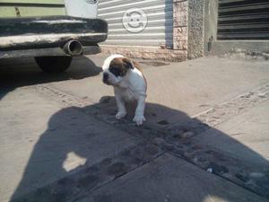 Cachorros bulldog ingles hembra y macho