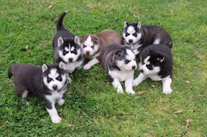 ***Hermosos cachorros Husky Siberian***