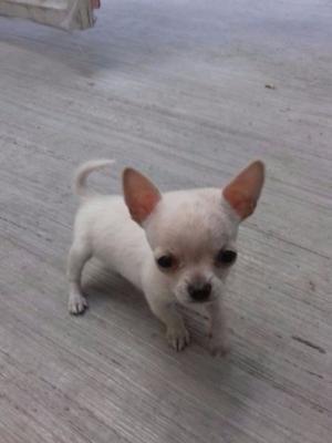 Ultimo cachorro de la camada guadalajara posot class for Vendo chihuahua barcelona