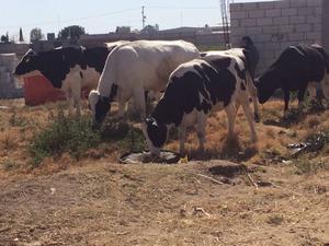 Vacas lecheras hollstein, yesei,suizo,etc. becerras cargadas