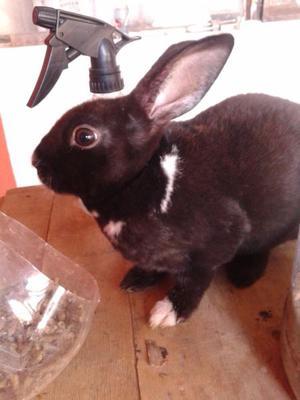 Conejo Minirex macho