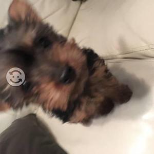 Cachorro yorkshire macho 2 meses