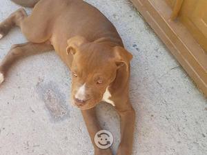 Cachorro pitbull red nose