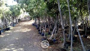 Vendo lote de 450 árboles FICUS