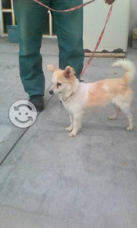 Chihuahua de pelo largo macho