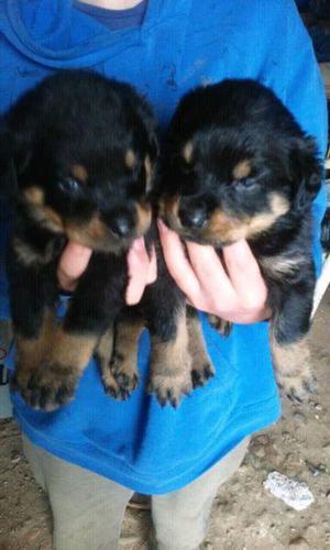 Se Venden Hermosos Cachorros Rottweiler Aleman