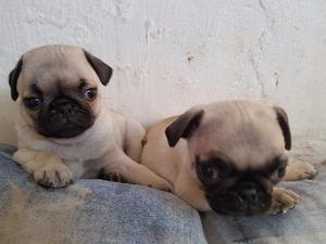 Bonitos Cachorros Pug
