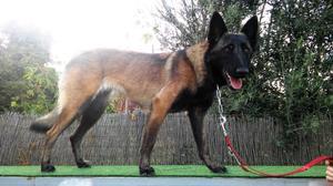 Cachorra pastor belga malinois de 7meses