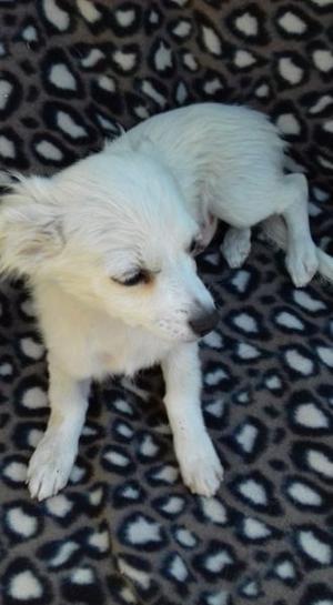 Cachorros Chihuahua Pelo Largo Vacunados $