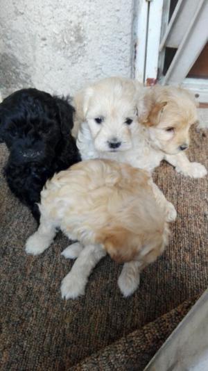 Cachorros French Poodle maltés
