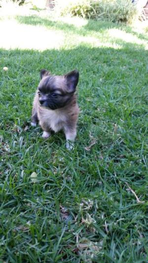 Chihuahua miniatura pelo largo