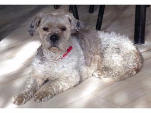 Mavis, French Poodle en adopción