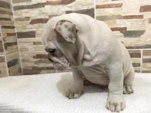 Mchito bulldog inglés