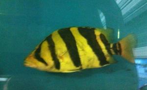 Pez Tigre Dafnoid de 25 Centimetros de Agua Dulce