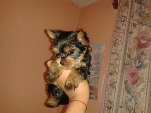 Vendo los 2 lindos cachorritos yorkshire terrier
