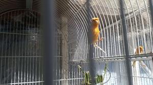 canarios en color naranja, amarillo y blanco
