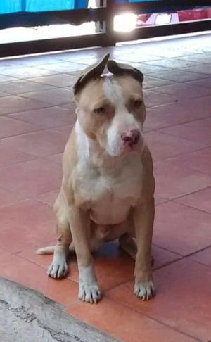 Hermoso semental pitbull red nose
