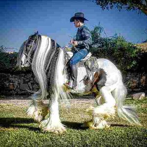 Romeo Caballo Gypsy Vanner En Guadalajara