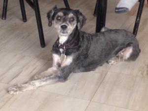 Bonita schnauzer con French poodle en adopción
