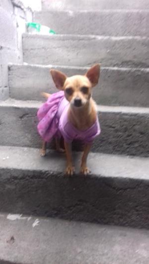 Chihuahua en adopcion