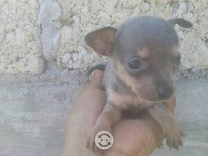 Compro perritos chihuahua