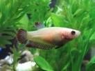 Betta Hembra Splendens