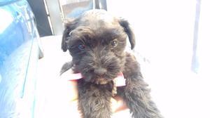 Cachorros Schnauzer miniatura negros y sal pimienta