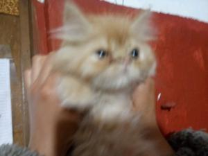 Gato persa 3 meses. Vacunado