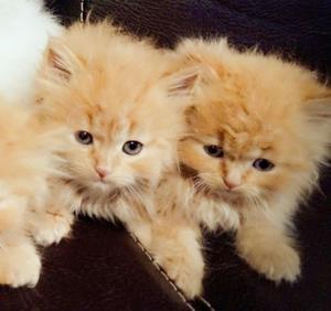 Hermosos gatitos exóticos