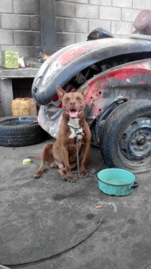 Perro pitbull rentable