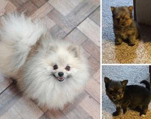Pomeranias muy pequeños