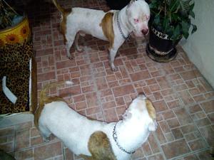 Preciosos cachorros americano pitbull