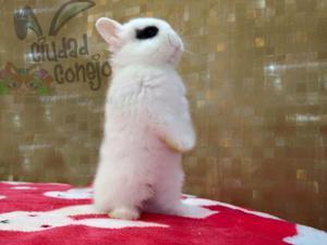 conejos enanos hotot (Dwarf Hotot) 100 % puros los mas